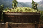 barrel with white grapes