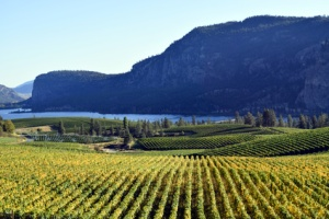 Vineyard in Okanagan Falls, British Columbia, Canada with Vaseux Lake and McIntyre Bluff in the background. McIntyre Bluff is near Oliver in the Okanagan Valley.